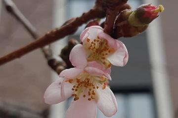 ムカチェヴォ市で季節外れの「おかしな」桜が開花