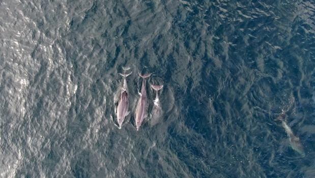 Локдаун «повернув» у Босфор дельфінів – їх зафільмували дрони