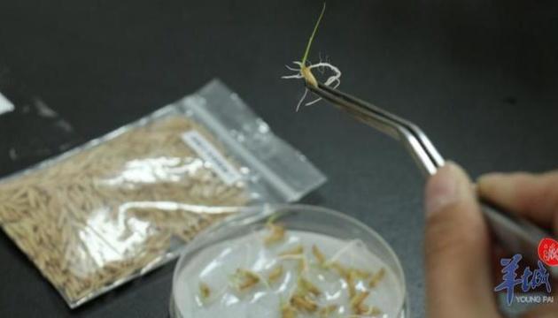 На Земле проросли семена риса, побывавшие на Луне