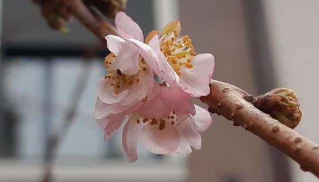 Sakura 'loca' florece en Mukachevo