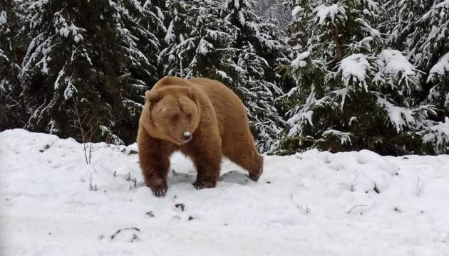 Синевирські ведмеді почали залягати в сплячку