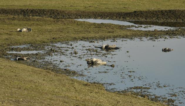 На Херсонщине продолжают гибнуть краснокнижные серые журавли
