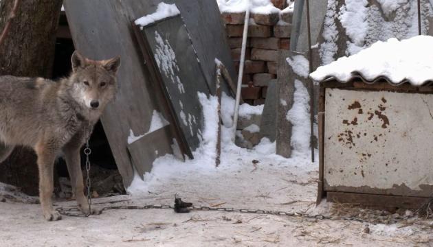 У Чернігові подружжя прихистило цуценя, яке виявилося вовком