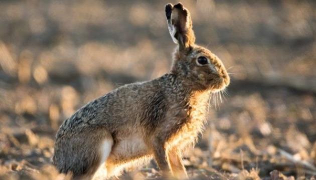 На Чернігівщині через мінеральні добрива вимирають зайці