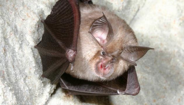 У летучих мышей из Камбоджи был в 2010 году патоген, «почти идентичный» к COVID-19