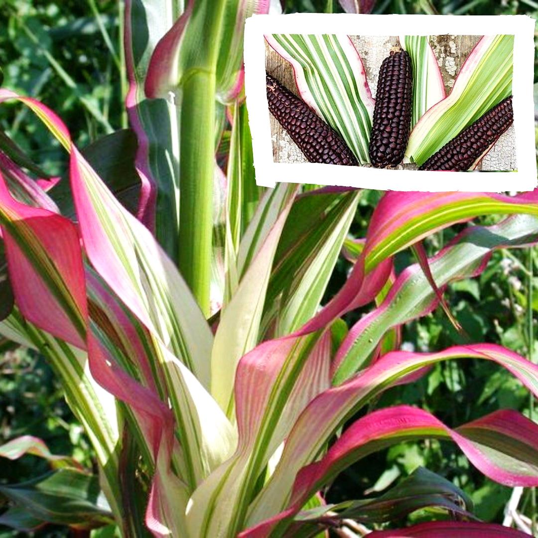 Zea japonica - кукурудза японська
