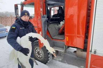 Im Gebiet Lwiw 15 Schwäne aus Eisfalle gerettet