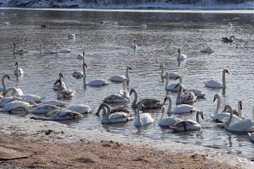 Over 200 swans settle on Prut River