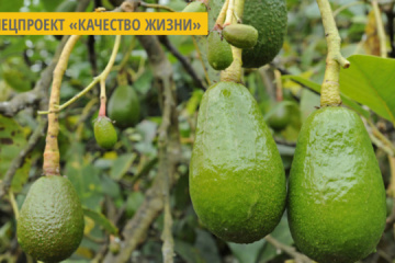 Healthy eating trend: Ukraine's avocado imports up 28% over past year