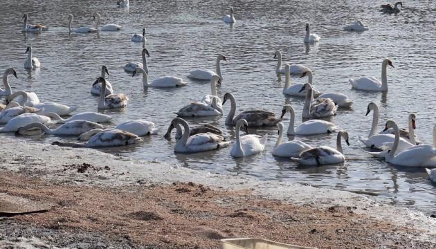 Двісті лебедів поселилися на Пруті поблизу людських домівок