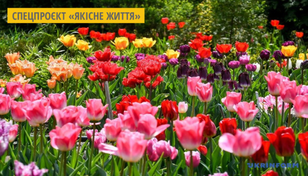 На Буковині цього року висадили на тюльпановому полі близько двох мільйонів квітів