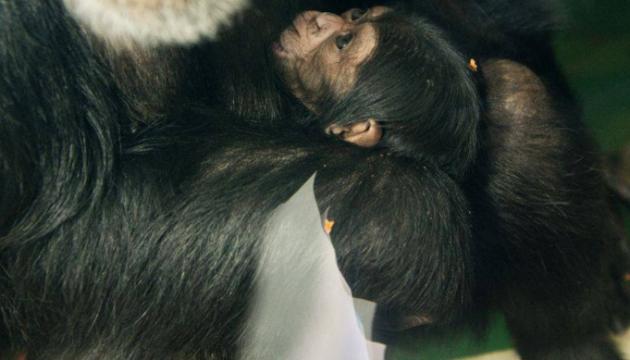 Новонароджених шимпанзе вже можна побачити у харківському екопарку