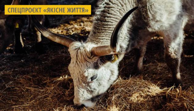 На Закарпатті фермери вирощують рідкісних угорських сірих корів для гурманів та туристів