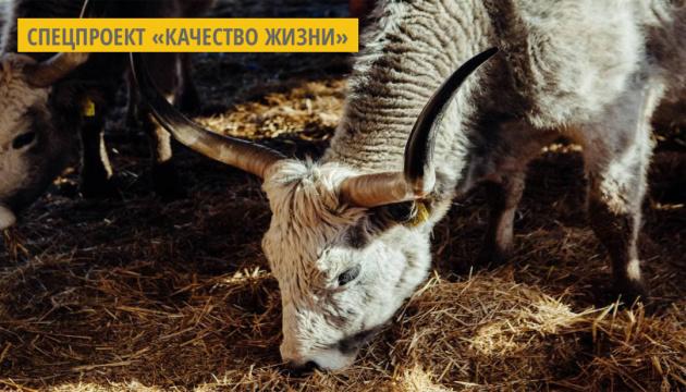 На Закарпатье фермеры выращивают редких венгерских серых коров для гурманов и туристов