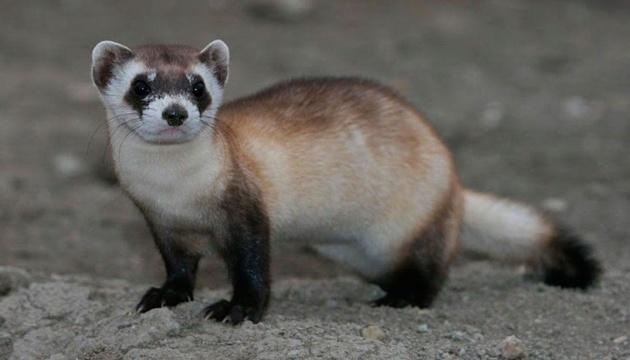 У США клонували тварин, які визнані вимираючими