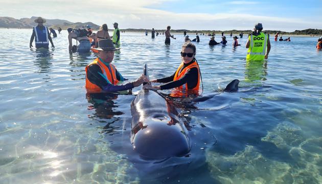 У Новій Зеландії змогли врятувати 28 китів-гринд, які викинулися на берег