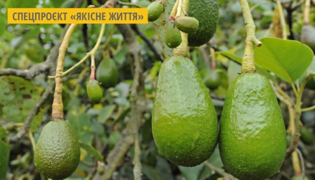 Тренд здорового харчування: Імпорт авокадо за рік зріс на 28%