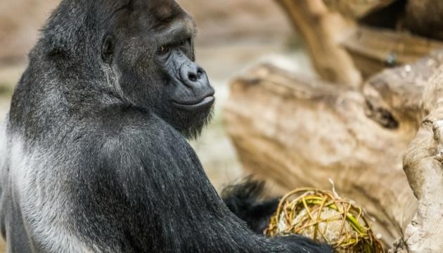 Коронавірус дістався Празького зоопарку: захворіли леви і самець горили