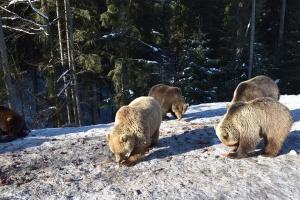 Le printemps arrive: des ours se sont réveillés dans le parc national de Synevyr