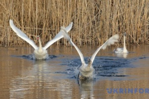На Херсонщині через загиблих від пташиного грипу лебедів ввели карантинні обмеження
