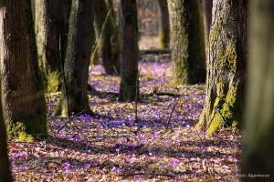 Под Мукачево началось массовое цветение шафранов