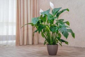 Зелені співмешканці: 10 кімнатних рослин, про користь і шкоду яких варто знати