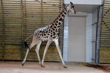 ミコライウ動物園のキリンの生活、リアルタイムでオンライン視聴可能に