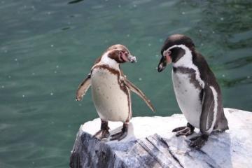 У Норвегії вакцинують від пташиного грипу пінгвінів