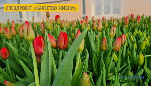 В теплице житомирского вуза выращивают восемь сортов голландских тюльпанов