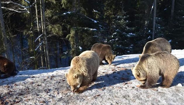 La primavera despierta a los osos de Synevir