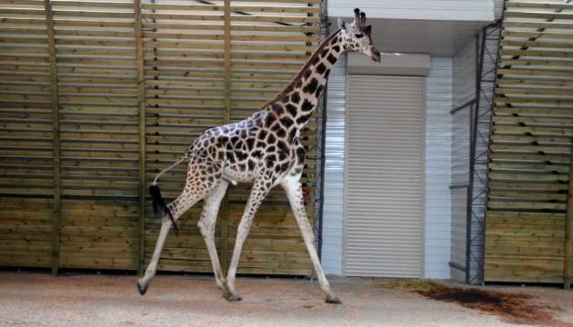 За жирафами в Николаевском зоопарке теперь можно наблюдать онлайн