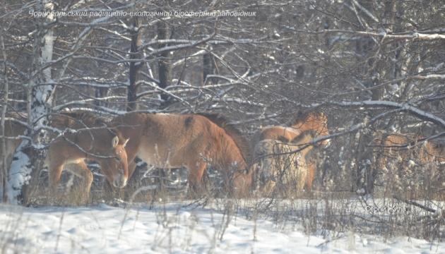 Копытные в Чернобыльском заповеднике хорошо пережили зиму