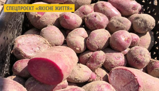 На Чернігівщині вивели оригінальну картоплю з фіолетовим та червоним м'якушем
