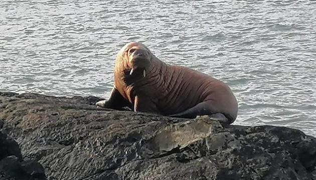 Заснув на айсбергу? Біля берегів Ірландії вперше в історії помітили моржа