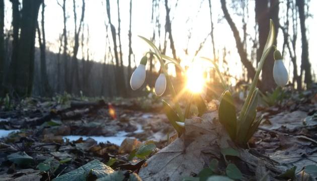 У Холодному Яру стартував сезон цвітіння підсніжників