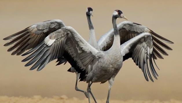 Зерно з хімікатами і дірки в законодавстві: чому в «Асканії-Новій» гинуть птахи
