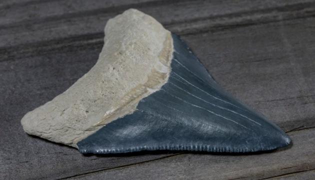 Американець знайшов зуб акули, яка вимерла три мільйони років тому