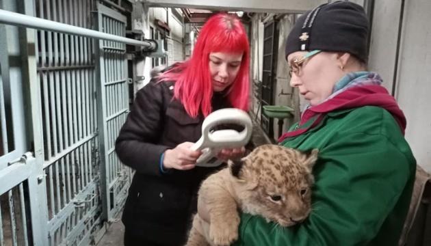 У Миколаївському зоопарку чипували пару левенят