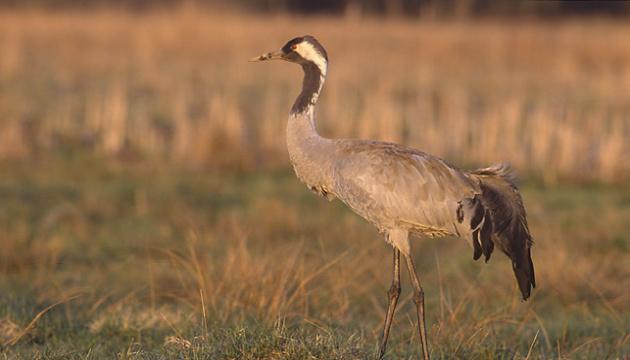 Загиблі в «Асканії-Новій» птахи могли отруїтися контрабандними препаратами