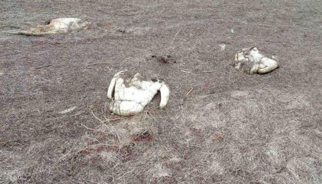 На озері Сиваш на Херсонщині від пташиного грипу загинули 90 лебедів