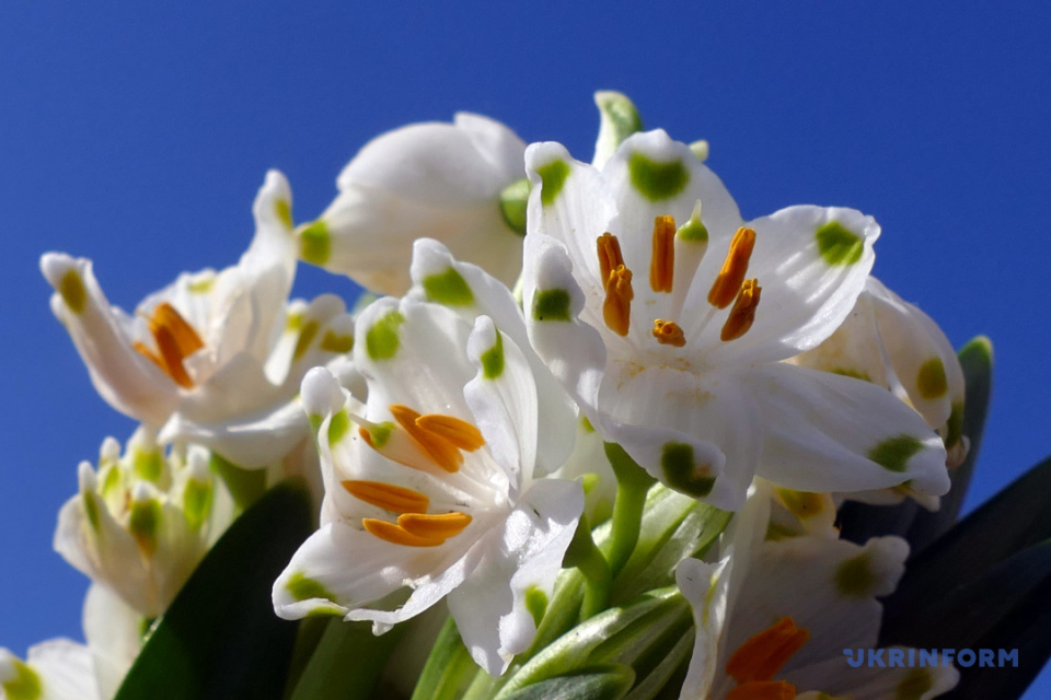 Campanilla de primavera / Foto: Yuriy Rylchuk, Ukrinform