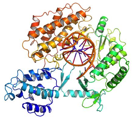 Каталітична субодиниця теломерази, TERT, пов'язана з передбачуваним матричним РНК та теломерною ДНК