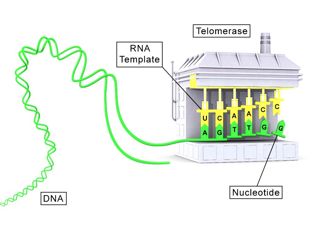 Концептуальна схема теломерази