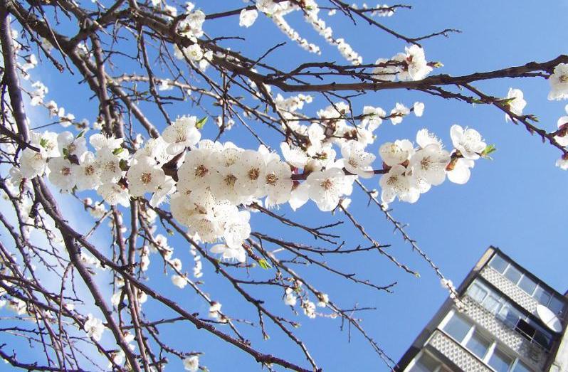 для цвітіння повинна накопичитися певна сума ефективних температур