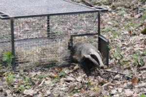 У парку «Беремицьке» розмножилися врятовані волонтерами борсуки