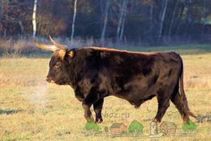 На Чернігівщині в завезених у дику природу турів народилося потомство