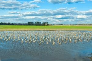 На Черниговщине сняли уникальные кадры перелета диких гусей