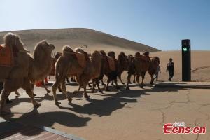 У китайській туристичній місцевості встановили світлофор для верблюдів