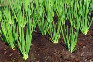 Чим корисна зелена цибуля і кому протипоказана