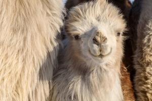 В зоопарке Мариуполя родился верблюжонок